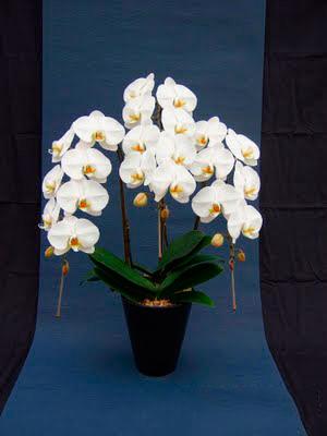 胡蝶蘭 orchid01
