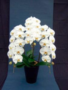 胡蝶蘭 orchid2
