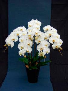 胡蝶蘭 orchid3