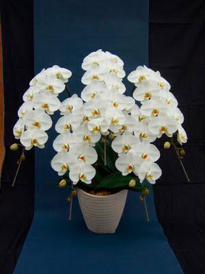 胡蝶蘭 orchid4